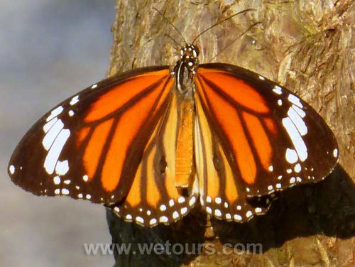 Bangkok Butterfly   by WeTours