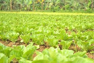 lettuce | by PinoyOrganics