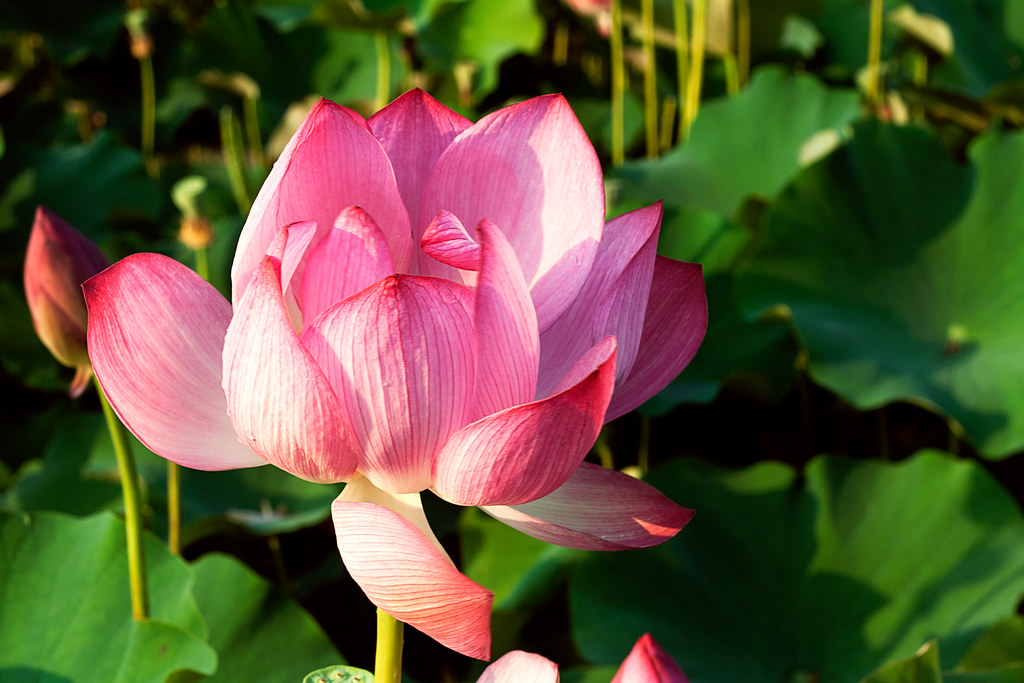 Lotus Blossom So From What I Remember About Buddhism The Flickr