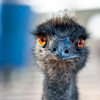 ♫ Old Man Emu ♪ | by pixelmama