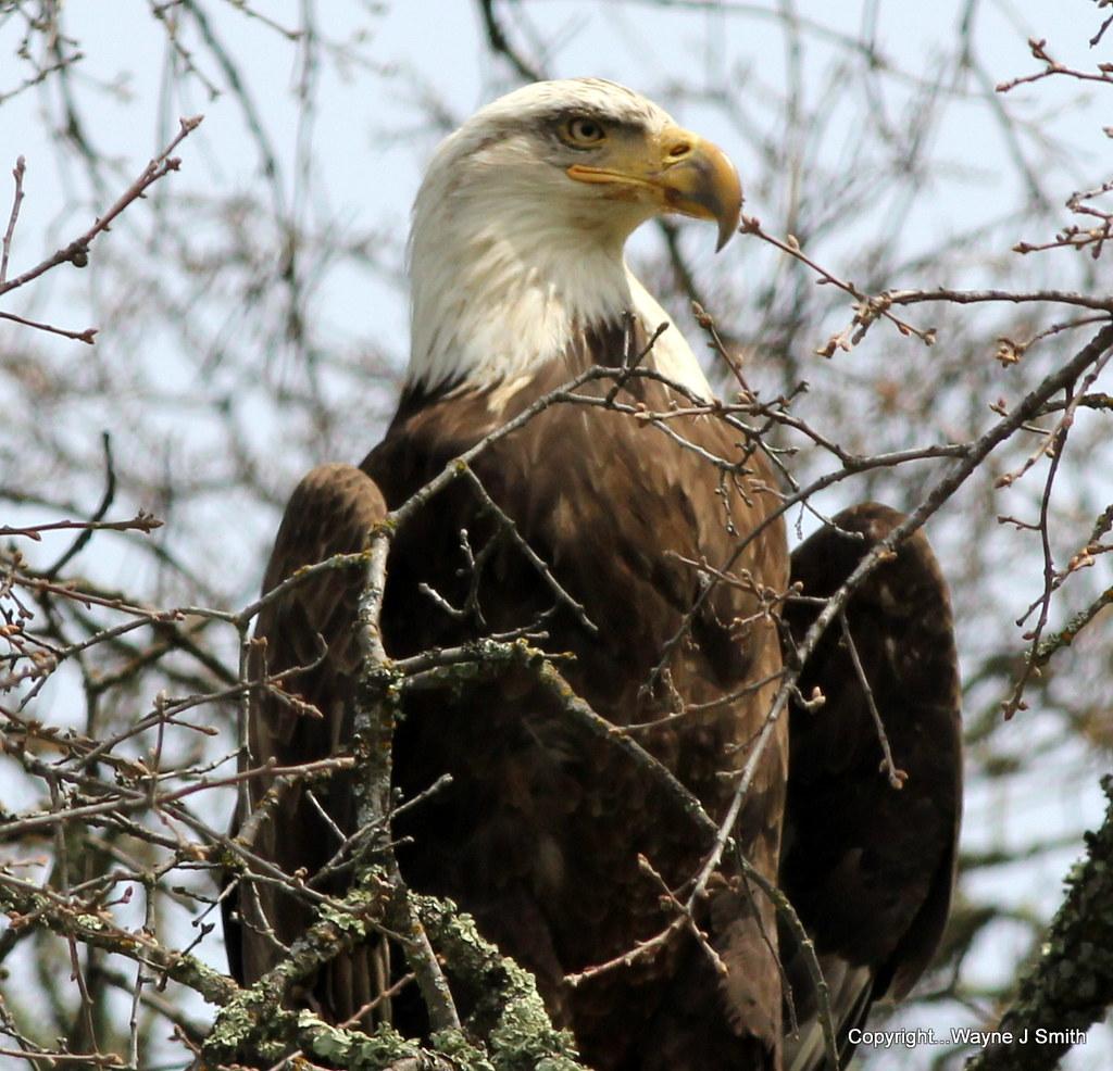 1-Bald Eagle...Jackson Road  3-19-2015