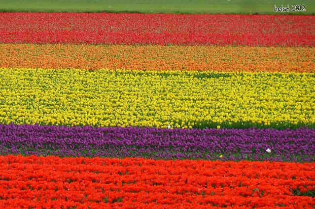 Tulpenfelder im Bollenstreek - tulip fields in the Bollenstreek
