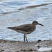 Flickr photo 'Wandering Tattler 7422' by: Malcolm NQ.