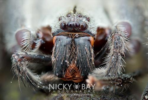 Huntsman Spider (Gnathopalystes sp.) - DSC_7636 | by nickybay