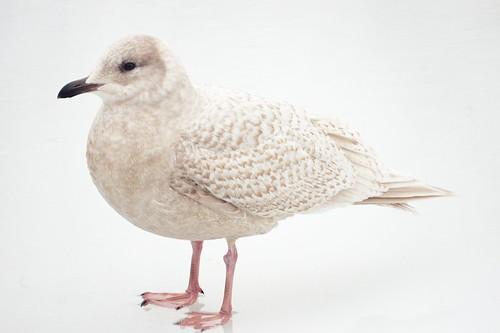 Iceland Gull, Central Park Lake