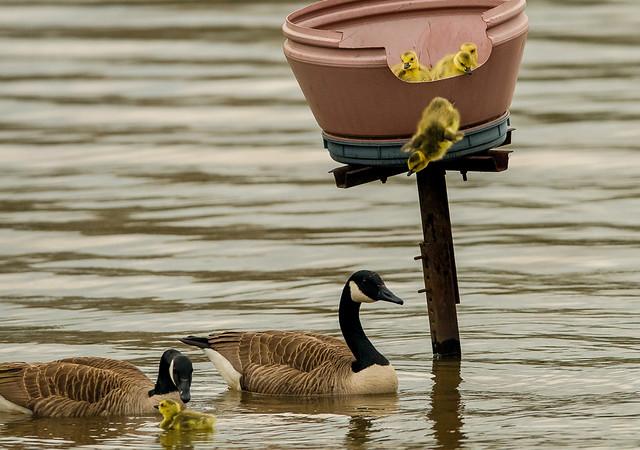 Gosling leaving the nest