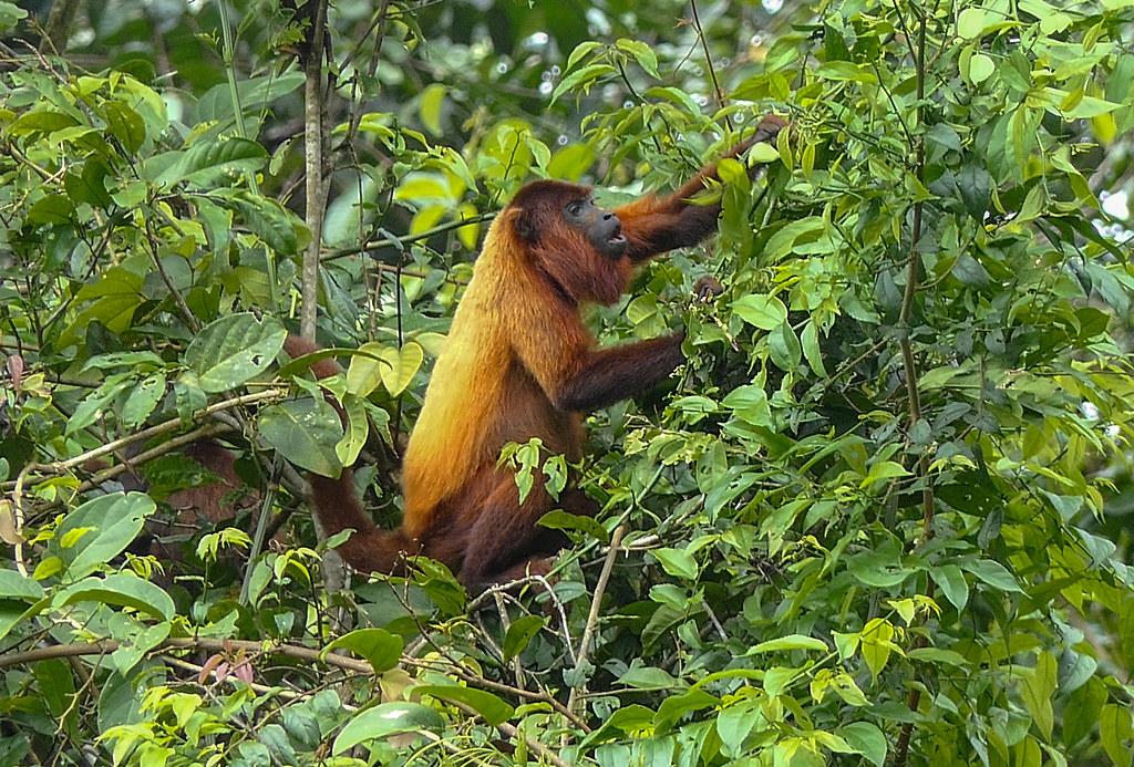Red Howler Monkey   Suriname: Brownsberg   randy.siebert   Flickr