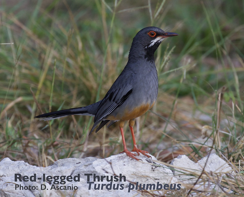 Red-legged Thrush, Turdus plumbeus_199A4121