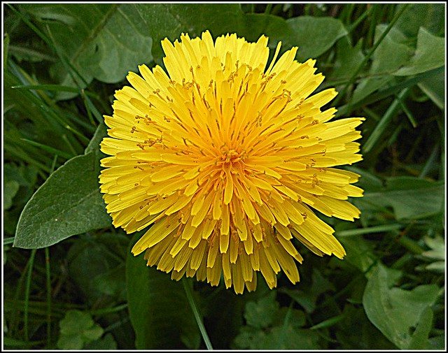 Close Up of the Dandelion Flower,