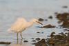 Eastern Reef Egret - white form by patrickkavanagh