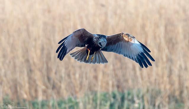 Marsh Harrier Hovering