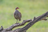CA3I8594-Gray-breasted Spurfowl by tfells