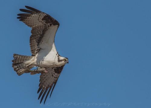 Osprey | by kevinhaw335
