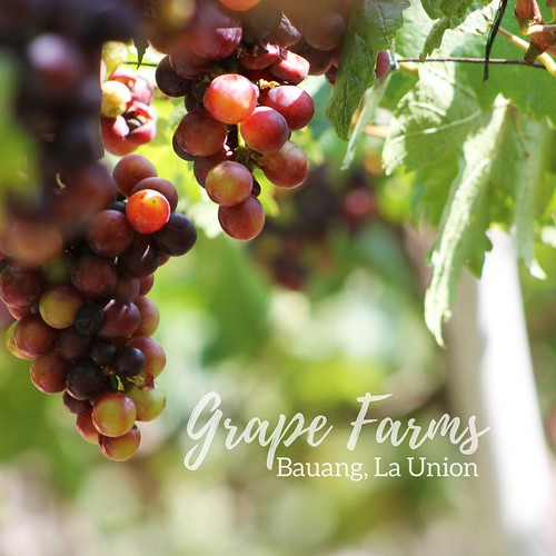 Grapes Farm in Bauang, La Union   by Traveling Morion