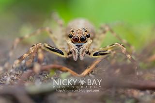 Jumping Spider (Spartaeus sp.) - DSC_6234