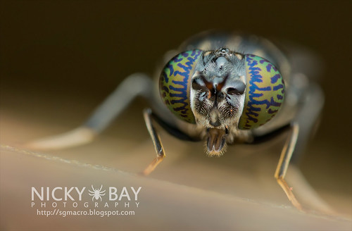 Soldier Fly (Stratiomyidae) - DSC_6204 | by nickybay
