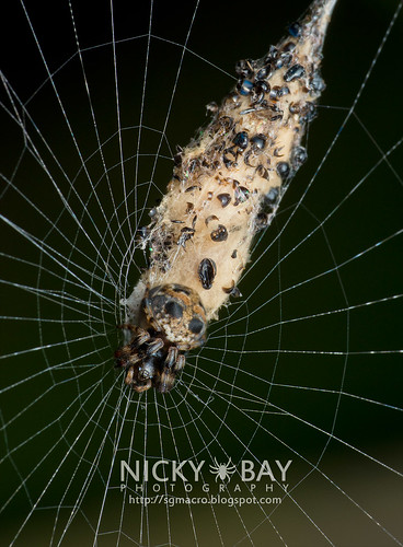 Orb Weaver Spider (Cyclosa sp.) - DSC_7207 | by nickybay