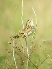 Henslow's Sparrow, Imperial Grasslands, PA