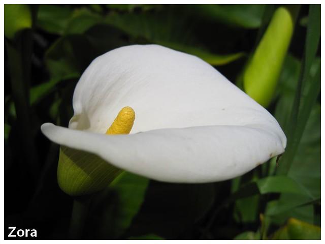 Fleur du jardin de Isaura 4