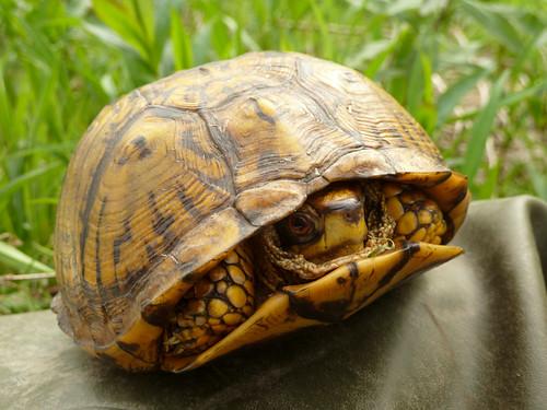 Eastern Box Turtle (Robin Baranowski, NPS Photo) | by Northeast Coastal & Barrier Network