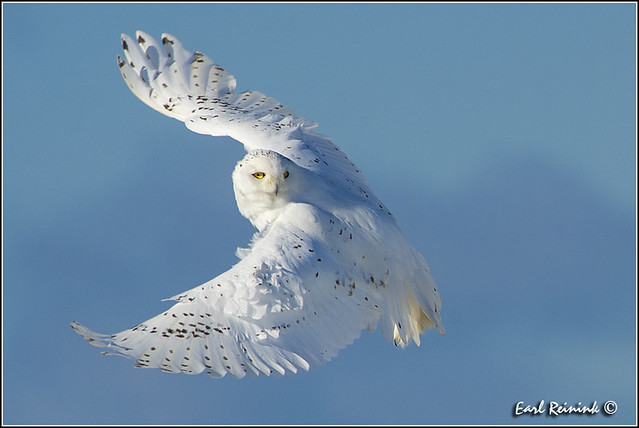 Snowy Owl (20130124-1434)
