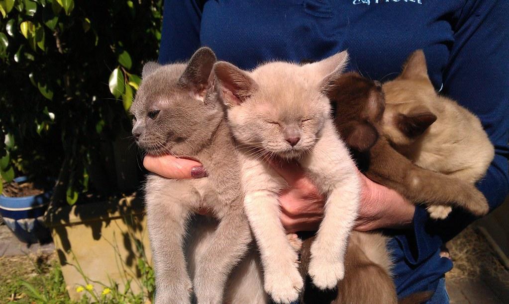 Iceblu kittens for sale, Indie blue lilac brown chocolate … | Flickr