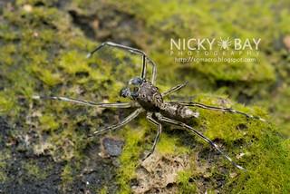 Jumping Spider (Spartaeus sp.) - DSC_7513