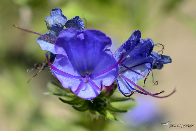 Vipérine vulgaire / Viper's bugloss - Echium vulgare