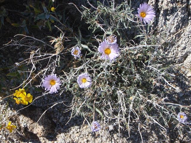 Xylorhiza tortifolia (Mojave Aster)