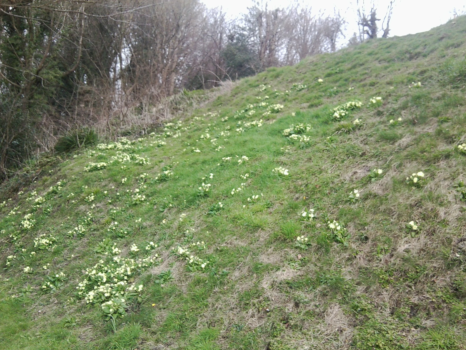 Officially spring Primroses. Amberley to Pulborough