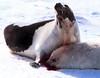 טבח כלבי הים