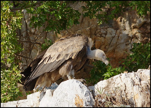 The Griffon Vulture (Gyps fulvus) is a large Old World vulture in the bird of prey family Accipitridae. | by Morton1905