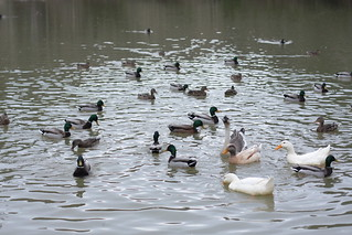 duck,duck,duck...GOOSE! | by Frontier Dreams