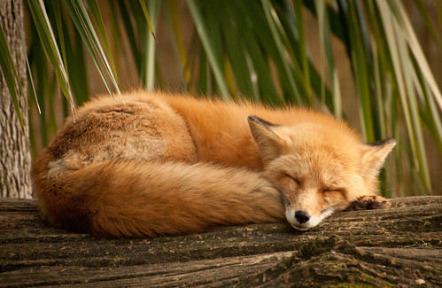 Dreaming Fox | by Sheila Newenham