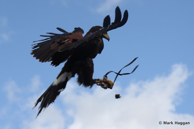 Cassie the Harris Hawk takes some food in mid air