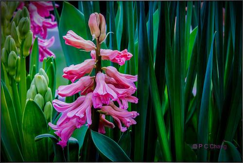 pink flower green beautiful garden spring lovely ravishing hyacinths rememberthatmomentlevel4 rememberthatmomentlevel1 rememberthatmomentlevel2 rememberthatmomentlevel3