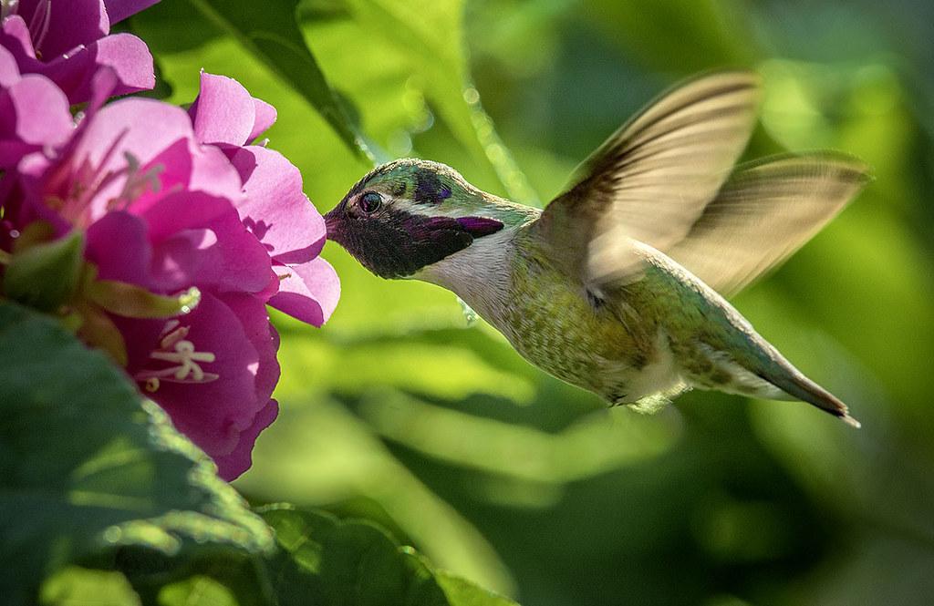 Costa's Hummingbird in flight feeding on Dumbeya Seminole flower. Wings of the Tropics, Fairchild Tropical Botanic Garden.