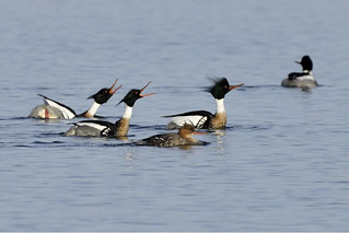 Photo of the Week - Red-breasted Mergansers (RI) | by U. S. Fish and Wildlife Service - Northeast Region