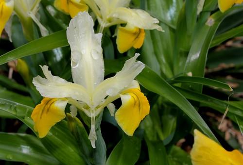 Iris bucharica 8664210489_dfe0c4e1fa