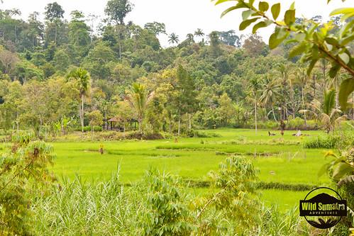 Kerinci   by Wild Sumatra https://www.wildsumatra.com