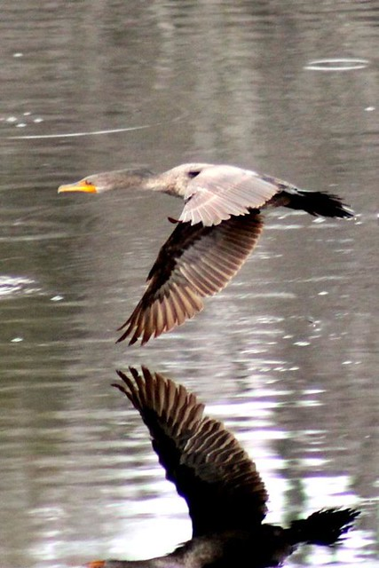 The Cormorant and his Reflection