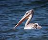 Pelícano Rosado (Pelecanus rufescens)  Pink-backed Pelican by Corriplaya