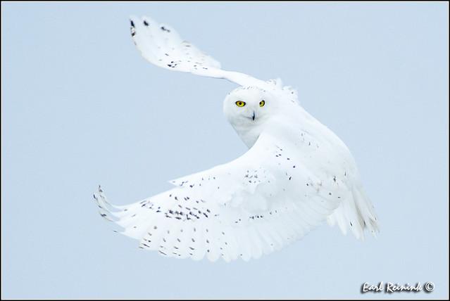 Snowy Owl (20130220-0396)