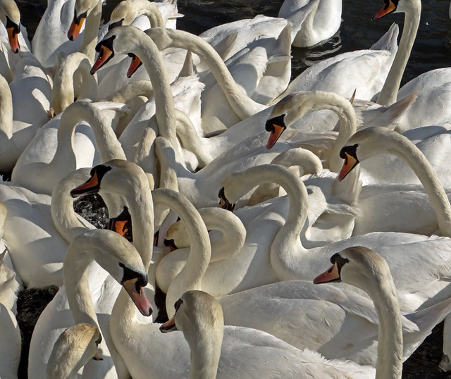 A Bevy of Swans.