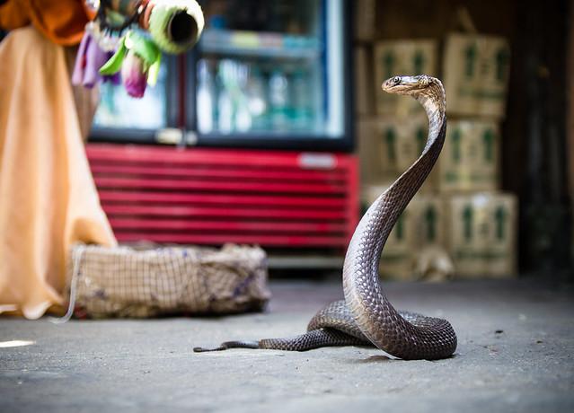 Cobra en Rishikesh