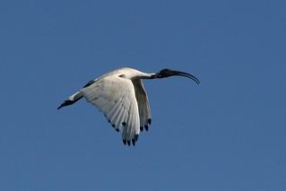 Australian White Ibis in Flight | by mrdehoot