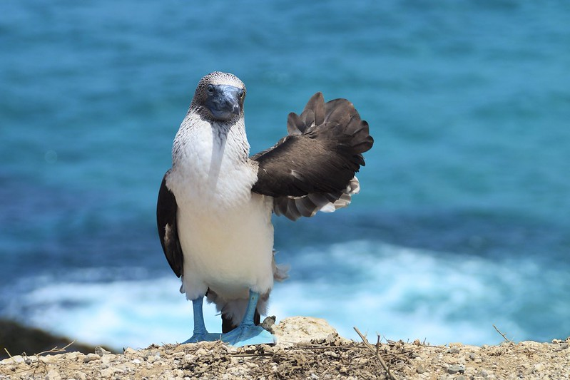 Blue-footed booby waiving at the camera in Isla de la Plata