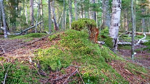 samsungs6edge novascotia victoriapark morninglight moss stump forest