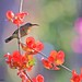 Crimson Sunbird Juvenile
