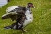 Cairina moschata (Muscovy Duck / Pato real) by PriscillaBurcher